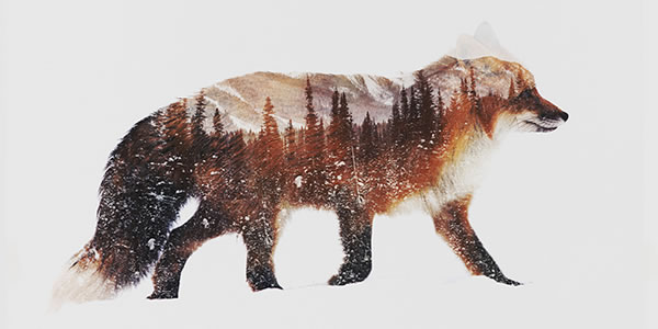 double-exposure-artic-red-fox