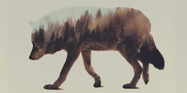 double-exposure-wolf-2
