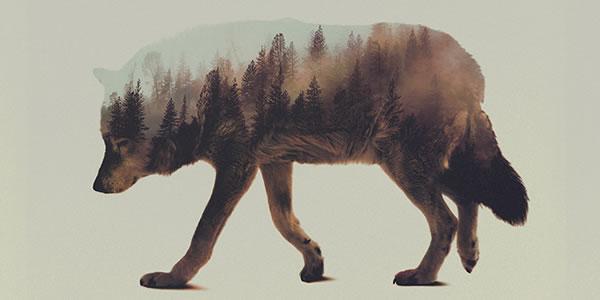 double-exposure-wolf-2