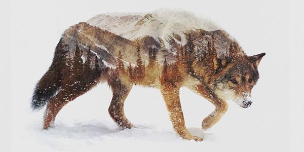 double-exposure-wolf